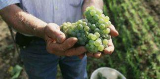Kleinere Weinernte in Europa im Jahr 2014
