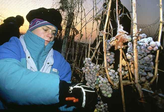 Eiswein: Der Wein, der aus der Kälte kommt