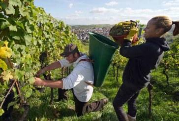 Deutsche Weinernte: 2015 wird ein top Weinjahrgang