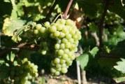 Autochthone Weinsorten: Seltener aber faszinierender Wein-Genuss
