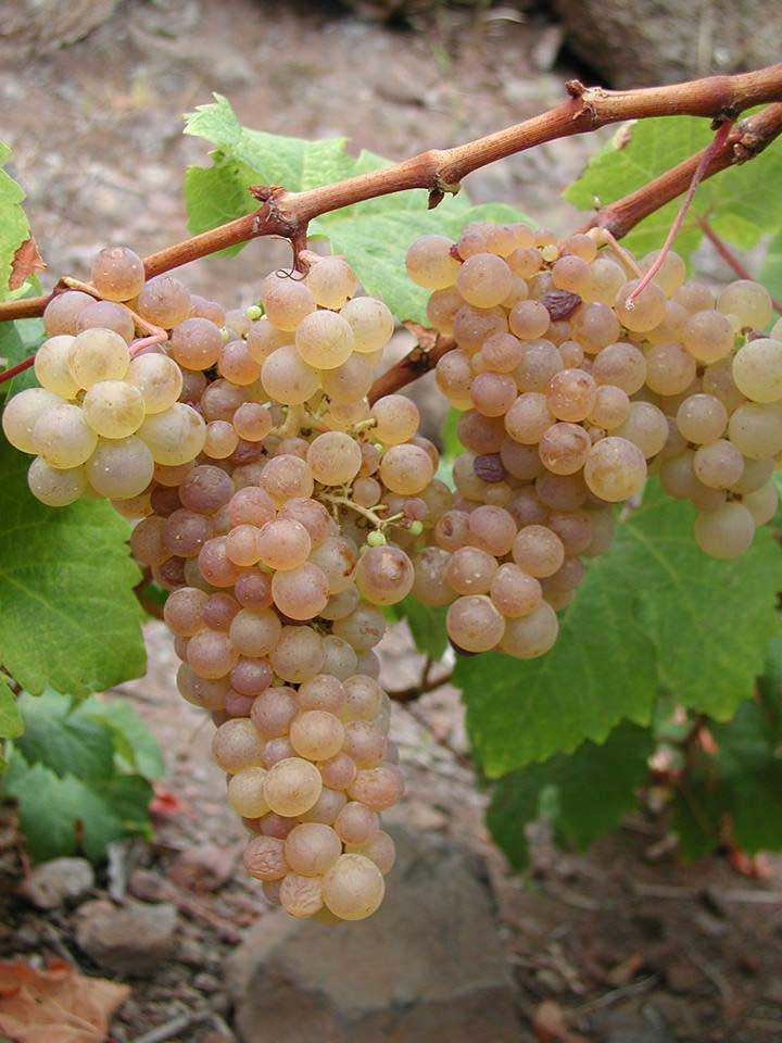Auf Gomera überwiegen die Weisswein-Sorten