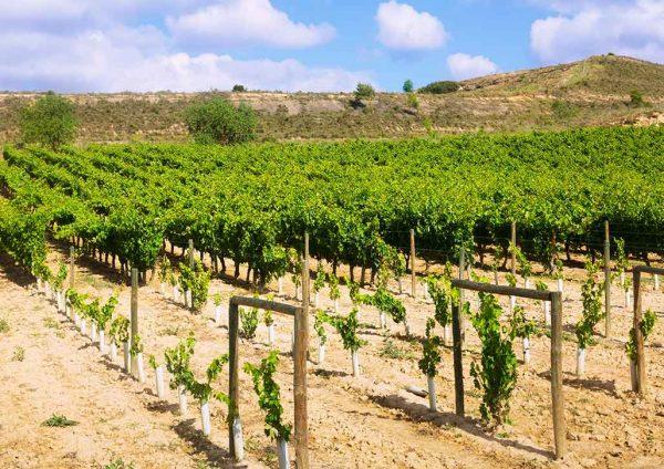 Reben auf der Rioja Hochebene in Spanien