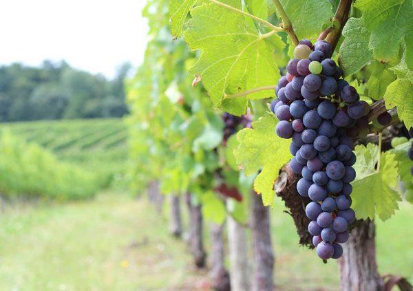 Weintrauben im Bordeaux-Gebiet
